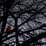 Night: A cardinal stands out against the darkening sky in Sergeant Bluff, IA. Typically, birds spend nights in their nests for safety and shelter.