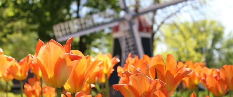 OC Tulip Festival returns after COVID cancellation